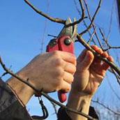 fruit-tree-pruning.jpg