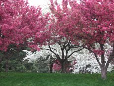 Central Park Crab Apple Trees in Full Bloom